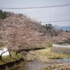 皇居の枝垂れ桜と同じ?