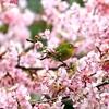 満開の河津桜❀に埋もれるメジロ♪