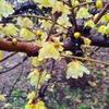 【代々木公園】雨上がりの蝋梅