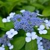 実光院の紫陽花、見ごろと開花状況。