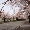下館総合卸センターの桜
