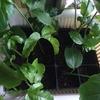 パッションフルーツの挿し木