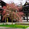 長谷寺と桜。桜の樹の下に桃色の空が広がる。
