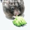 【ハムスター】クロクマのあんこちゃんは食いしん坊ででっかいぞ
