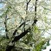 EF210 桜川橋の桜