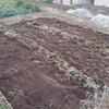 ジャガイモ畝の準備