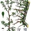 アプロディーテーと没薬(もつやく) ギリシャ神話で,父親に恋し交わってしまったミルラ(ミュラ/スミルナ)が変身したとされる「没薬」ミルラ.アプロディーテーの神木の一つに数えられていますが,ギリシャ神話原典に物語が残されているものの,没薬を聖なる植物としたとする記述は,実は残されていないようです,なお,日本語のミイラ(木乃伊)は,ミルラが語源!