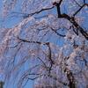 唐木田 鶴牧西公園のしだれ桜