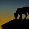 シルエットだけでアフリカの野生動物の生き生きとした姿をとらえた写真が超絶に美しい