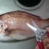 魚を締める・さばく最強のアイテムを発見。ナイフよりも安全で簡単で頑強なコスパの良い万能水産ハサミは釣り人なら是非持っておくべき!