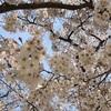 【お花見2020】3世代お花見「桜より肉を見る会」