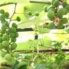 ブドウの房とアケビのツル、田んぼシゴトと土日の関係、「虫追い」神事と未明の低空ヘリコについて