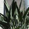 ストレリチア 花芽 11月
