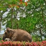 「パーイ ホットスプリングスリゾート」の周辺では、普通に象が道を歩いています!!