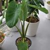 スーパーの里芋を育てて10週目(サトイモ・鉢植え・観葉植物)
