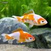 (国産金魚)更紗和金 三つ尾〜四つ尾(1匹)