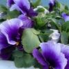今日は紫のパンジー