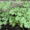 念願のガーデニングもベランダでは物足りない?切実に庭か畑に植えたい。