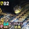 0702【カルガモ親子水の上を走る】カラスがパン、ヒヨドリの雛。猛禽類ツミ親子、おまけpartyparrotとヘビ。【今日撮り野鳥動画まとめ】身近な生き物語