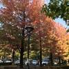 横山グリーンプールのメイプルが紅葉しています