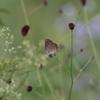 8/15・家族で信州てふあそび 〜 ワレモコウとゴマシジミいっぱいの奈川村、家族みんなで夏の蝶景色を楽しみました