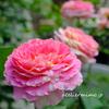 クロードモネの夏【バラ】