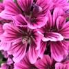 ゼニアオイ(銭葵)の花