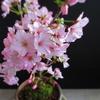 桜の鉢植え ほぼ満開! ~御殿場桜の盆栽~