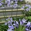 紫君子蘭です
