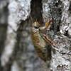 エゾハルゼミの幼虫、抜け殻、成虫
