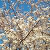 靖国神社でお花見 おみくじは大吉 運は置いてきました