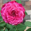 デュエットバルコニアの花の形がよくなりました(7月23日~8月6日の様子)