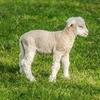 Mary Had a Little Lamb★メリーさんの羊をカタカナで歌ってみよう~メリーさんのひつじ~