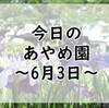 【あやめまつり】今日のあやめ園~6月3日~【5分咲き】