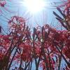 <徒然日記>さつま町柊野に彼岸花を見てきたよ!~彼岸花の花言葉の紹介~<スマホ投稿>