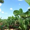 発芽大豆と普通の大豆との違いはなに?