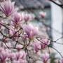 【雑感】木蓮と桜  April 2020