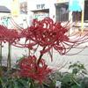 ヒガンバナが咲いた