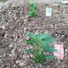 バジルと鷹の爪を植えた。家庭菜園