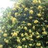 モッコウバラが開花