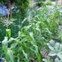 今年いまいちだった野菜は?トウモロコシに、カボチャに・・・