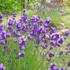 フラノラベンダー開花