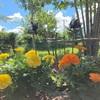 真夏の庭もお花達頑張る!