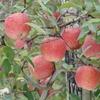 紅葉とリンゴ狩り・・・リンゴ狩り