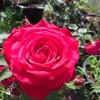アレックスレッド 今朝、水遣りをしていたらキレイにさいている赤〜濃いピンクのバラが目に付いた