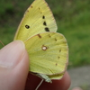 夏~秋にかけてたくさん見られる黄色い蝶モンキチョウにはモンシロチョウのように点があります。