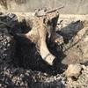 柿の木を掘り起こしました