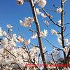 さくらんぼの花と椿と水仙