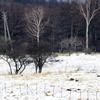 雪上を飛ぶフクロウ