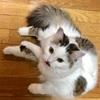 子猫 サイベリアン (11ヶ月&1才) 体重